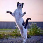 【猫不思議】飼い猫に「猫踊り」をさせる米屋さんの話(子猫缶 威嚇 ネズミ 動画 風呂 鳴き声 可愛い 喧嘩 面白 怒 里親)招き猫ちゃんねる