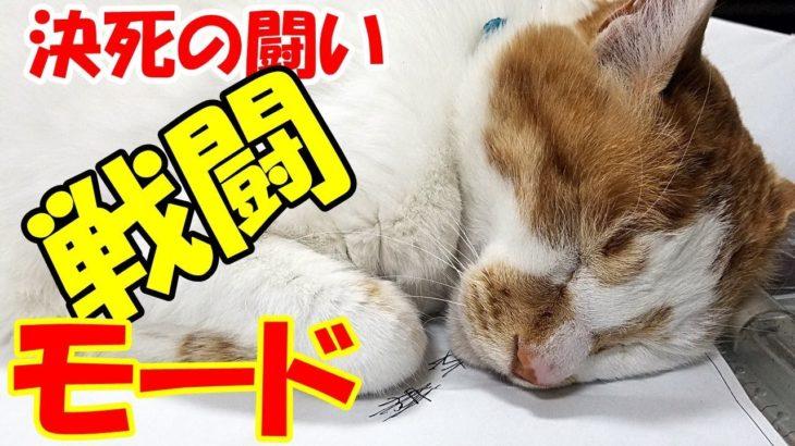 野良猫が来たらすぐに戦闘モードになる猫がすごい!A cat that gets into battle mode as soon as a stray cat comes is amazing!