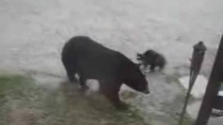 熊に勝つ猫