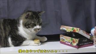 自分の食べれるもの、食べれないものがちゃんとわかる猫リキちゃん☆チョコパイはいらないよ!【リキちゃんねる 猫動画】Cat video キジトラ猫との暮らし