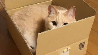 喧嘩では♀猫こむぎに勝てない♂猫だいず【猫日記こむぎ&だいず】2018 05 11