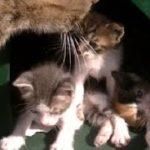 生後3週間 よちよち歩きのハプニング  猫(子猫)が赤ちゃん産みました2 Cat Giving Birth