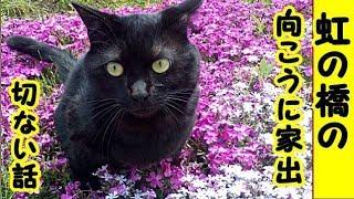 猫泣ける話・愛猫くろすけ、虹の橋の向こうに家出…!招き猫ちゃんねる