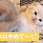 母猫の ペロペロ が止まらない!子猫の反応が かわいい 【 PECOTV 】