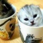 【人気のねこ】マンチカン集合✰超カワイイ癒しの猫