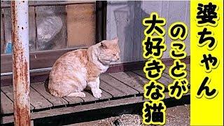 【猫 泣ける話】婆ちゃんのことが大好きな猫のお話(猫 感動 泣ける話 保護 涙腺崩壊 感涙 動物 動画 里親)招き猫ちゃんねる