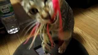 ルアーをくわえる猫ねこネコ★Cats likes to chew on lure.