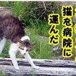 猫の小さなお礼・交通事故で見ず知らずの猫を病院に運んだお話・招き猫ちゃんねる