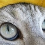 負けた猫の感情が顔に出過ぎでしょっ! ~猫とにらめっこしーましょう♪ -Staring Contest With My Cat