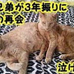 感動 泣ける話・離れ離れになってしまった猫の兄弟が、3年振りに奇跡の再会を果たす・招き猫ちゃんねる