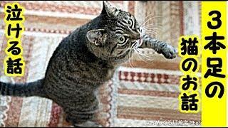 障害猫泣ける話・3本足のケンと相棒のクロのお話・招き猫ちゃんねる