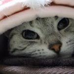 必死に眠気と戦いながらも…付き合ってくれる猫❤ 眠い猫と寝かせまいとする飼い主の攻防 -Sleepy  Lovely Cat & Mom