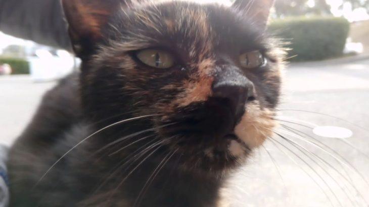 公園のサビ猫ちゃんのゴロゴロが凄い