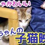 【猫かわいい動画】アイちゃんの子猫時代の映像公開!ちっちゃかわいい時があったんです。