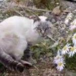 ちょっとビビりなシャム猫ちゃんがカワイイ