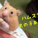 男の子ハムスターならではのハプニングとは…おもしろ可愛い癒しハムスターHappenings unique to Funny boys hamsters!