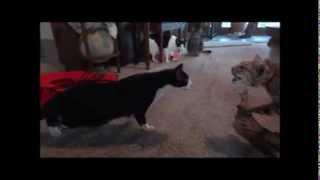 自分に似た置物にびっくり!する猫♪ おもしろ猫動画 Funny cats video!!
