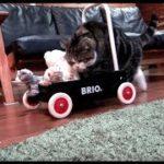 ぬいぐるみを運ぶねこ。-Maru carries stuffed animals.-