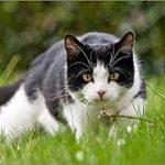 狩りの話・愛猫チョロの思い出・ある日瀕死の 鳥をくわえて  私の部屋へ 入って来ました。招き猫ちゃんねる