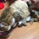 サマーカットしたら子猫に戻った秀吉がかわいい  I cut my kitten's hair.
