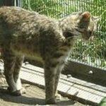 【ねこの恋】動物園のヤマネコの檻に侵入した野良ネコ【やまねこの恋】