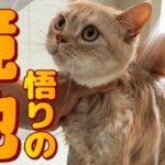 シャンプー嫌いだった猫がやり方を変えたら暴れなくなった方法とは!
