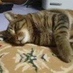 ☆寝ている猫にちょっかい♪ 寝ぼけている顔がかわいい! play a prank on sleeping cat( ねこ、ネコ、ペット、動画、動物、youtube)