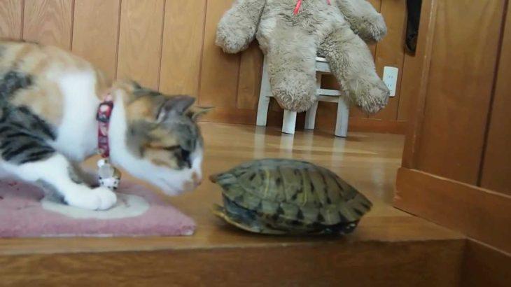 猫 vs カメ