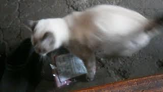 ハプニング映像!カメラに激突する白猫ちゃん(痛)Happening !Cat to hit the camera【いなか猫1788】japanese funny cat