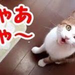 猫 鳴き声 かわいい 面白い うちの猫が可愛い鳴き声で甘えてくる!・・・うちの猫ちゃんたちカワイイTV