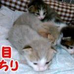 かわいい子猫 お目目ぱっちり開いてますます可愛い!生後10日目・・・うちの猫ちゃんたちカワイイTV