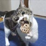 おっとり猫とボール遊び☆マタタビボールをかじりまくる食いしん坊猫リキちゃん☆かわいい猫パンチ【リキちゃんねる 猫動画】Cat video キジトラ猫との暮らし