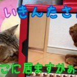 【猫 鳴き声】iPadの中のきんたさんの鳴き声に反応する保護猫ココさんがかわいい!
