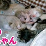 かわいい猫の赤ちゃん 小っちゃくて可愛くて癒される 生まれて2日目・・・うちの猫ちゃんたちカワイイTV