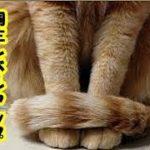 猫の気持ち・幸運を引っ掛けてくるカギしっぽ猫 猫のしっぽは口ほどにモノを言う 猫を知りたければしっぽを振る6パターンを見ろ・招き猫ちゃんねる