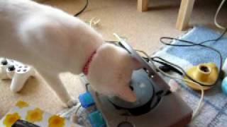 猫おもしろ動画。DJになったねこ