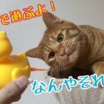 【猫 風呂】猫2匹とアヒルで遊んで風呂好きにさせる作戦!Cat and bath
