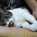 癒し☆腕枕で幸せ気分な猫はフミフミが止まらない☆甘えん坊猫リキちゃんは今日もパパと添い寝で放心状態【リキちゃんねる 猫動画】Cat video キジトラ猫との暮らし