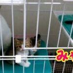 可愛い子猫 元気に鳴いてケージの中で遊んでいます 猫の鳴き声 生後1ヶ月の子猫・・・うちの猫ちゃんたちカワイイTV
