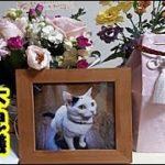 看取り感動実話・長寿猫の葬儀に家族全員を引き寄せた不思議な猫の話!20年4か月ご長寿猫が迎えた静かな最期・招き猫ちゃんねる