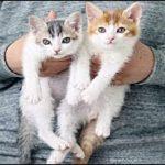 泣ける話 先住猫と里親・突然やってきた2匹の保護子猫の「パパ」になった先住猫の『そら』くんのお話・招き猫ちゃんねる。