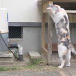 突然動き出す井戸のポンプにびっくりする三毛猫姉さん