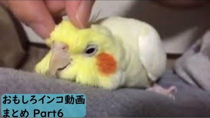 【面白 インコ】おもしろインコ動画 #6【かわいい】
