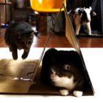 段ボールとねこ。-Corrugated cardboard and Maru.-