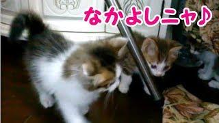 かわいい子猫 部屋の中を飛んだり跳ねたり楽しそうに遊ぶ子猫たち もうすぐ2ヶ月の子猫・・・うちの猫ちゃんたちカワイイTV