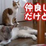 猫かわいい 仲良し猫の兄弟 突然バトルが始まる! ペロペロ毛づくろい  cute cat・・・うちの猫ちゃんたちカワイイTV
