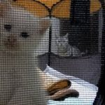初対面の仔猫に母ちゃんを独り占めされてしまった猫!~イジケた猫が母ちゃんを取り戻すぞ~❤と意気込み… -3 Weeks Kitten And 7 Years Old Cat