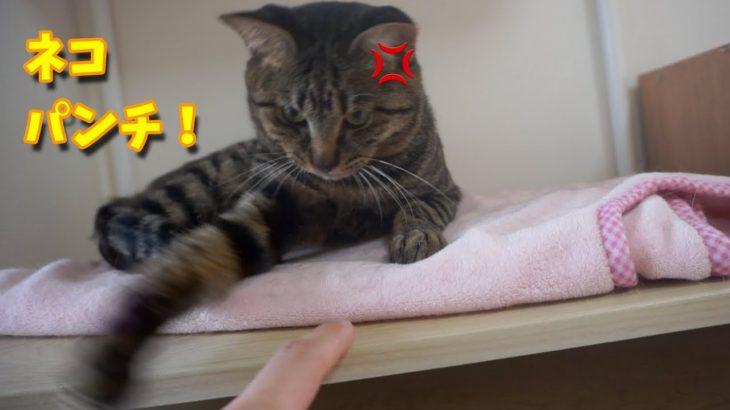 【カワイイ!】猫にプチ嫌がらせしてみたら・・笑【すずとコテツ】