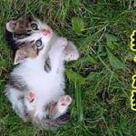【捨て猫 泣ける話】出刃包丁持った捨て子猫(笑って泣ける話)(猫 感動 泣ける話 保護 涙腺崩壊 感涙 動物 動画 里親)招き猫ちゃんねる