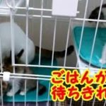 子猫の鳴き声 大合唱! ごはんの催促で大騒ぎする子猫たちが可愛すぎる! 子猫かわいい 生後40日目・・・うちの猫ちゃんたちカワイイTV